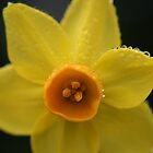 Daffodil, Mount Lofty Botanic Gardens by Leigh Penfold