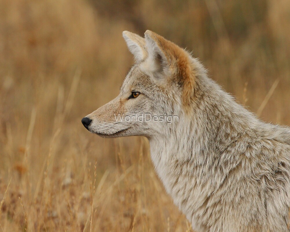 Coyote Profile by William C. Gladish