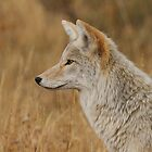 Coyote Profile by William C. Gladish