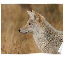 Coyote Profile Poster