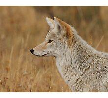 Coyote Profile Photographic Print
