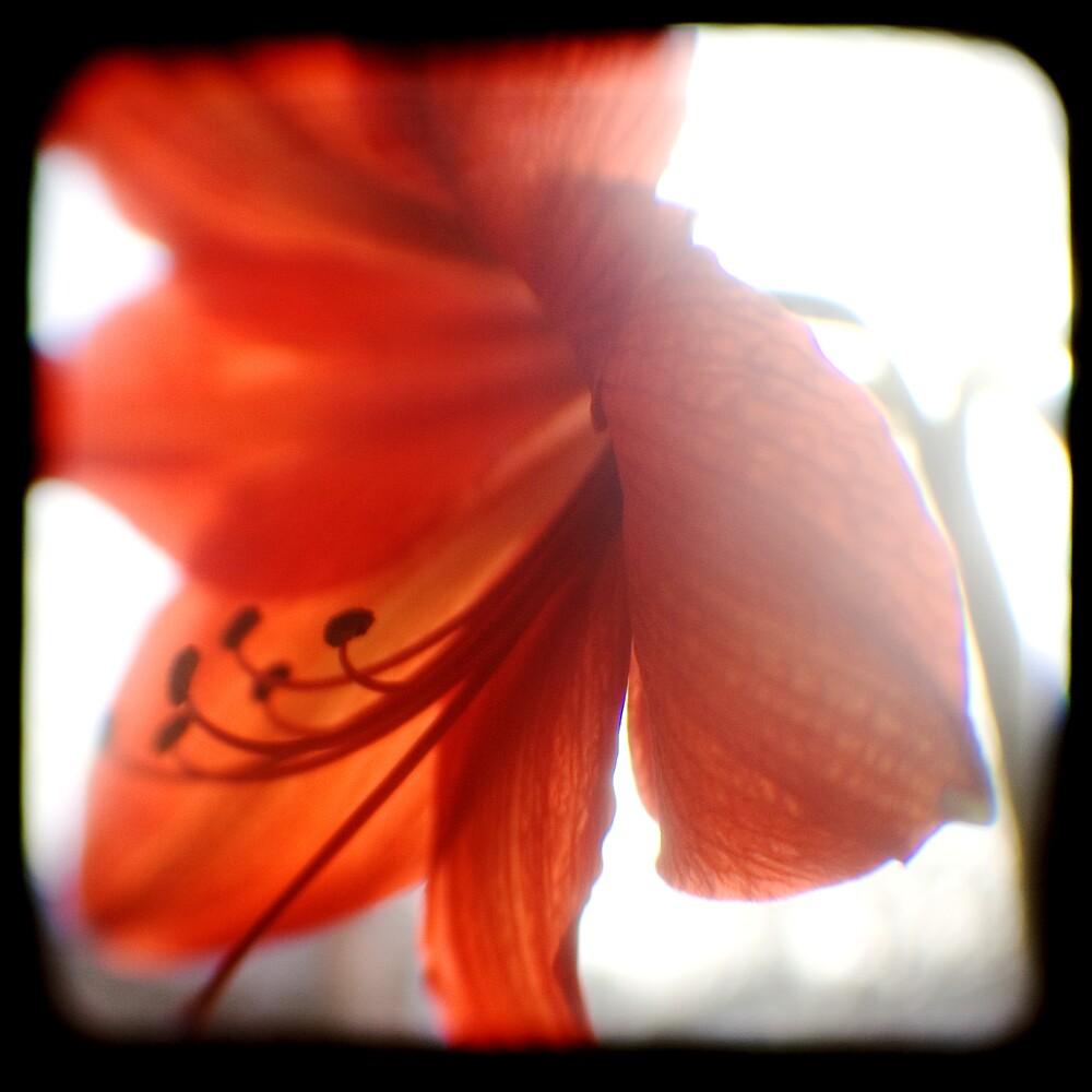 amaryllis ttv by Adam Graham