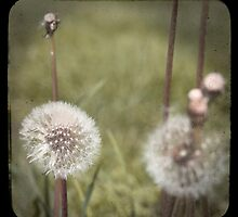 """Dandelions - """"faux"""" TTV by Patrick Hickey"""