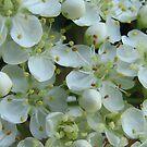 Elderberry Blossom by Hans Bax
