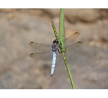 Keeled Skimmer Dragonfly Photographic Print