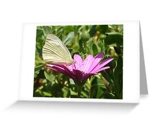 Cabbage White Butterfly on Osteospurmum Flower Greeting Card