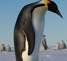 Fluffy Emperor Penguin