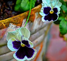 pansies  by Savannah Gibbs