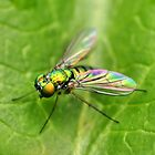 Long-Legged Fly  by PamelaJoPhoto
