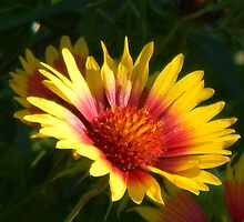 Indian Blanket by Navigator