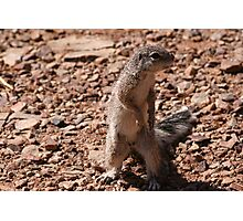 Cape Ground Squirrel, Fish River Canyon Namibia Africa Photographic Print