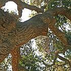 Big old Oak by Trish Peach