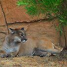 Puma by GailD