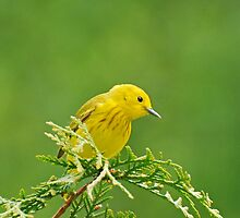 Little Yellow Warbler - Male by Lynda   McDonald