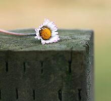 Daisy in a Narrow Depth of Field by Coreycw