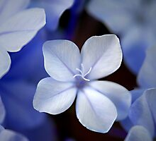 Plumbago cluster by triciamary