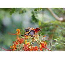 Crimson Sunbird Photographic Print