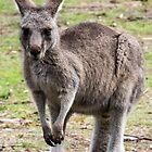 Kangaroo - Halls Gap, Victoria by forgantly