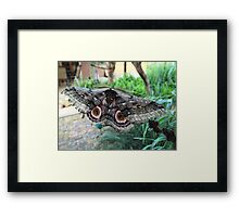 Speckled Emperor Moth Framed Print