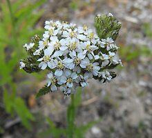 Yarrow - Budding Achillea millefolium  by Tracy Faught