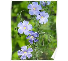 Blue Flax- Linum usitatissimum Poster