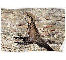 Bush Land Water Dragon - Physignathus lesueurii lesueurii  Poster