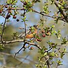 Robin Red Breast by TingyWende