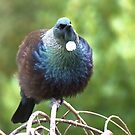 Puff Ball tūī - NZ by AndreaEL