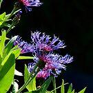 Garden cornflowers by EileenLangsley