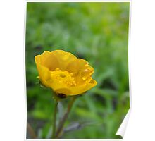 Meadow Buttercup -Ranunculus acris  Poster