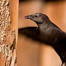 Brewer's Blackbird by Kimberly Palmer
