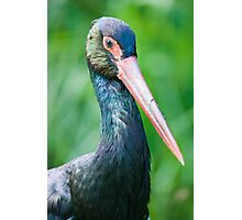 lilford's crane Photographic Print