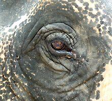 Elephant Eye by Kristin Hamm