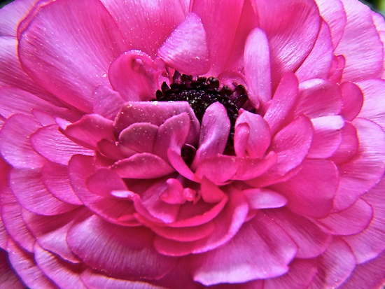 Pink Pedals Unfurling by mrthink