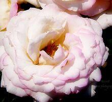 The Rose - La Belle du Jour by pmn-photography