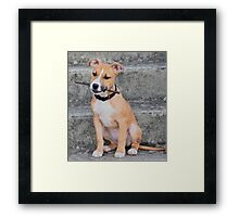 Young American Staffordshire Bull Terrier Framed Print