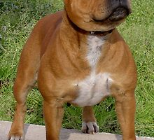 Cute American Staffordshire Bull Terrier by welovethedogs