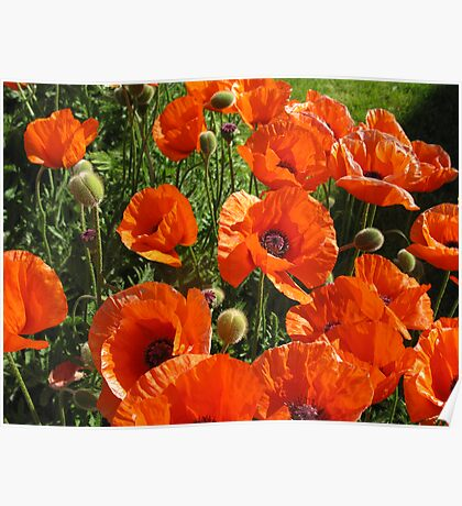 poppies - to remember & say thank you to all the wonderful soldiers Poster