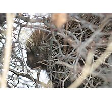 Porcupine in the Tree Photographic Print