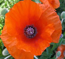 poppies  - in memory of my Great Grandfather John Aspinall by dawnpeace