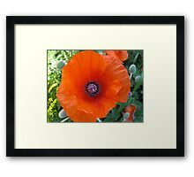 poppies  - in memory of my Great Grandfather John Aspinall Framed Print