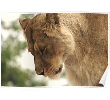 African Lioness Poster