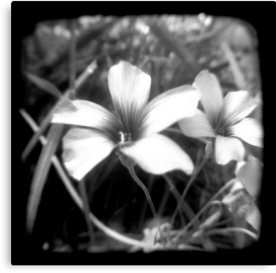 Oxalis - Through The Viewfinder by Kitsmumma