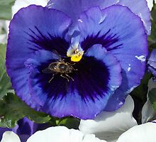 Purple pansy and Mr Bee by samandoliver