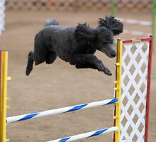 Cool Poodle Standard by welovethedogs