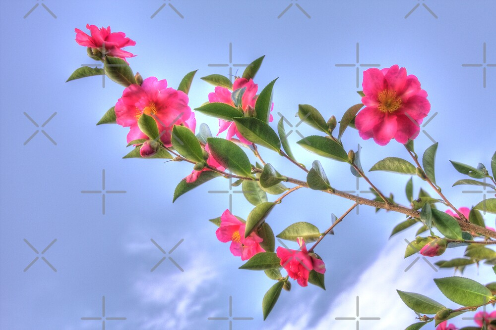 Camellia Sasanqua by Elaine Teague