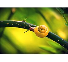 golden snail Photographic Print