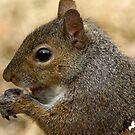 squirrel chomping on peanut by imagetj
