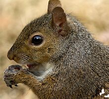 squirrel chomping on peanut by imagetj