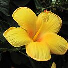 Yellow Beauty by MichelleR